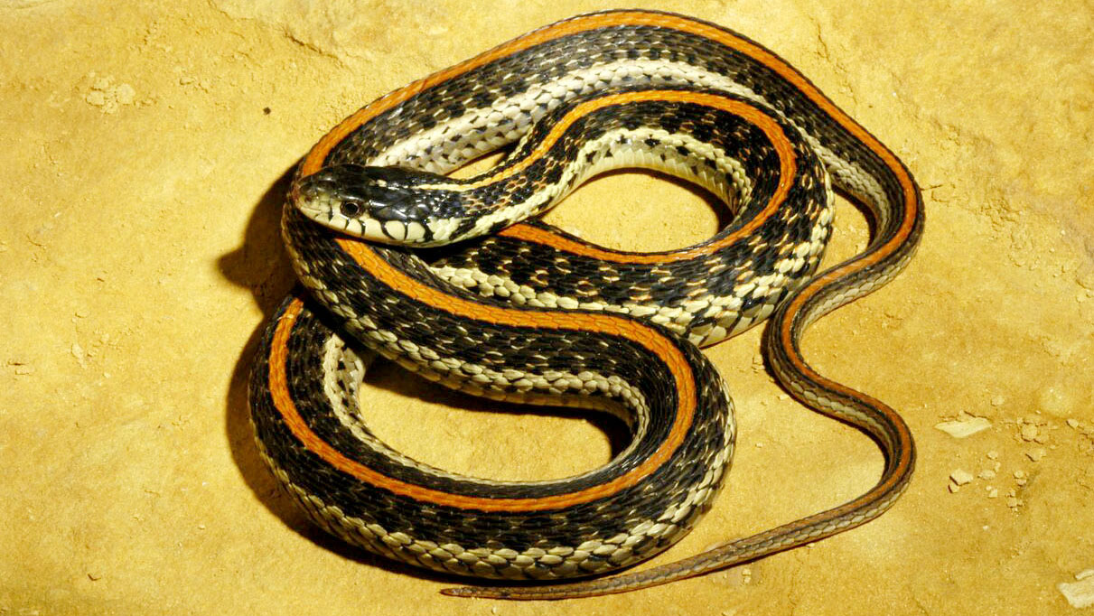 An adult Common Gartersnake from Seward County. © Suzanne L. Collins 9d72c7ea1